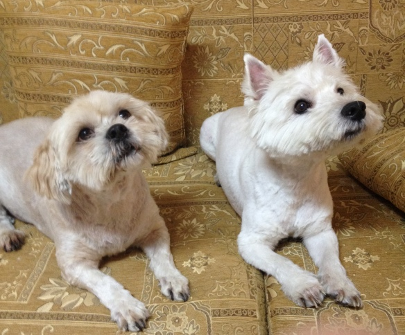 Momo (Lhasa Apso) and Jameson (Westie) are starting to settle in. Momo has decided he likes compound life, Jameson not so much.
